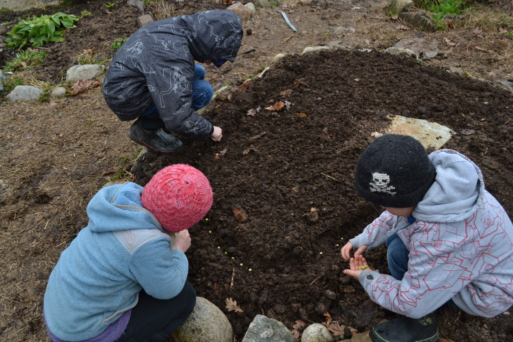 March 12, 2016 - planting peas 1