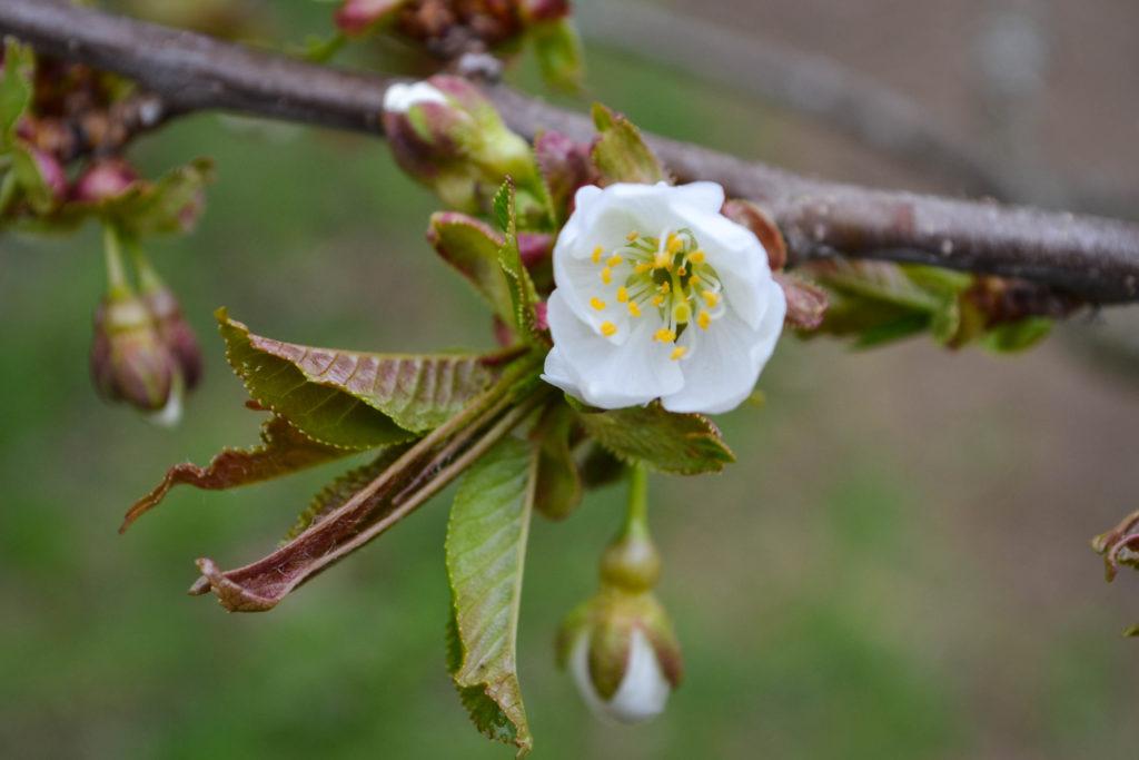 April 14, 2016 - cherry blossom...