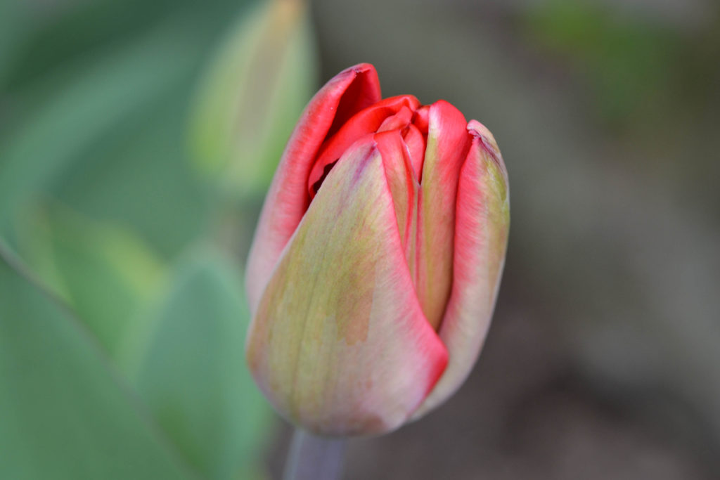 April 14, 2016 - tulip...