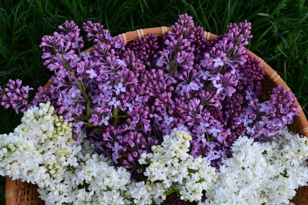 May 2, 2016 - lilacs are early
