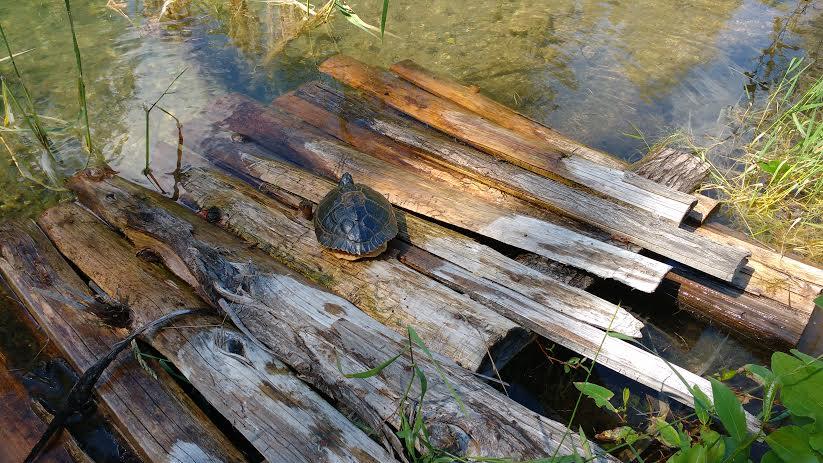 July 2016 - turtle 5