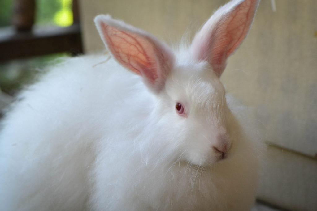 august-2016-angora-bunnies-4