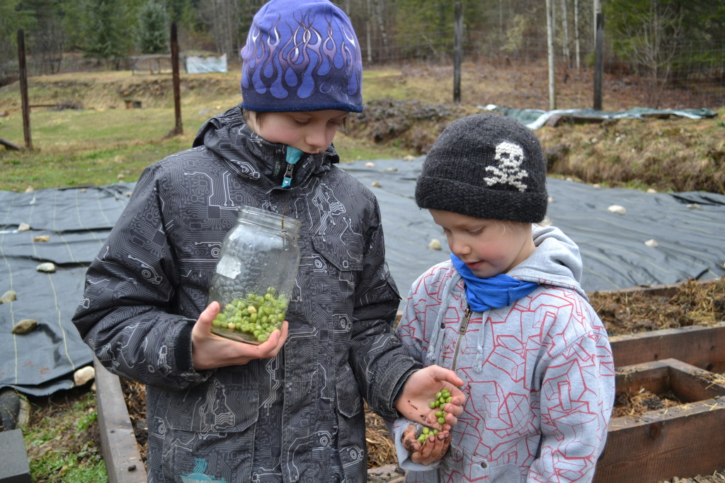 March 12, 2016 - planting peas 4