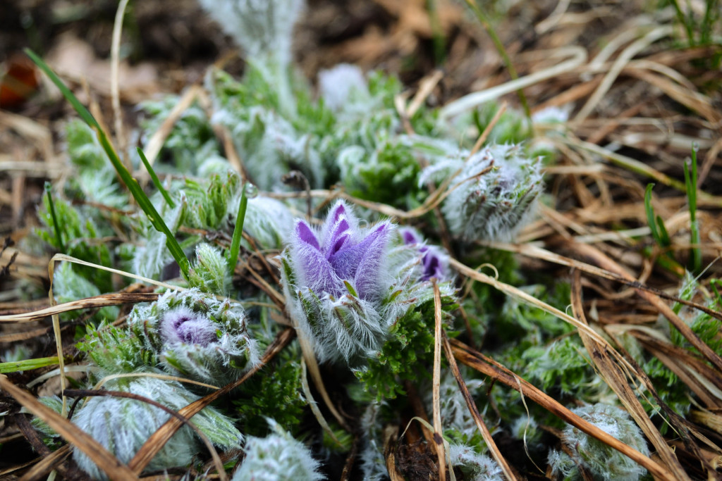 March 27, 2016 - Pasque flowers blooming...