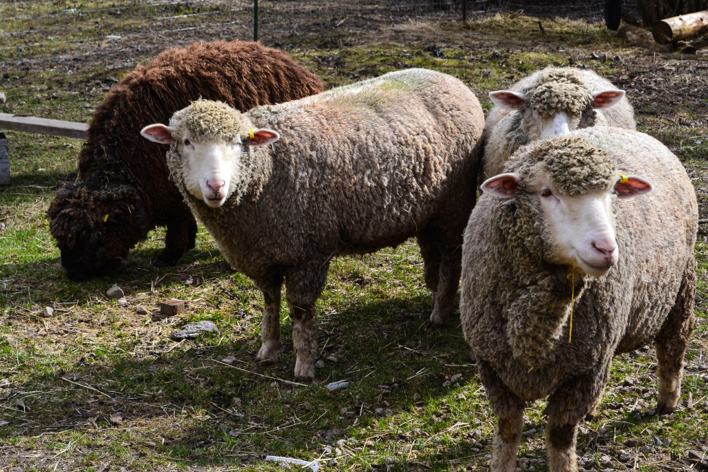 March 2016 - just before shearing...