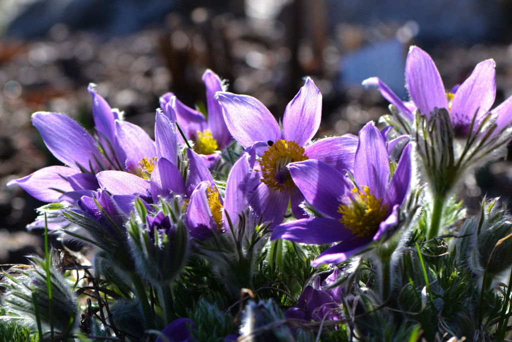 March 2016 - pasque flowers...