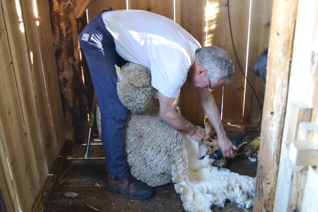 March 2016 - shearing day 12...