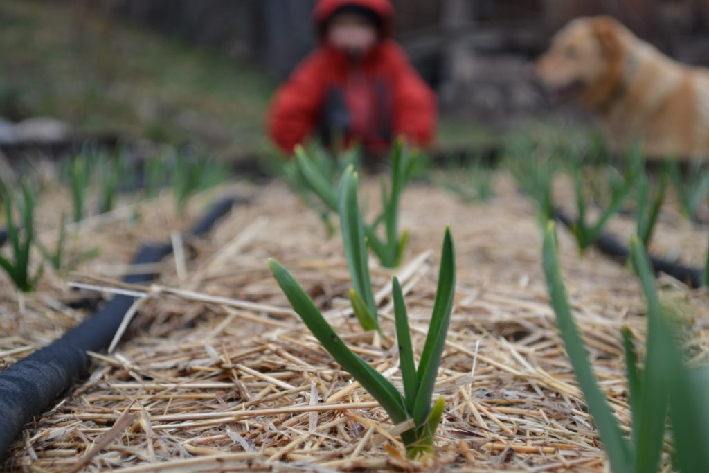 March 27, 2016 - garlic is growing 1