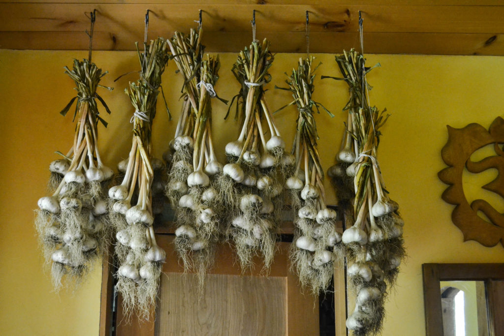July 2016 - garlic harvest...